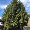 Baumfällung mit anschließenden Häckselarbeiten_5